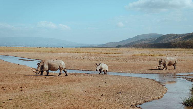 Une famille de rhinocéros près du lac Nakuru au Kenya, le 1er novembre 2018. (SOPA IMAGES / LIGHTROCKET / GETTY IMAGES)