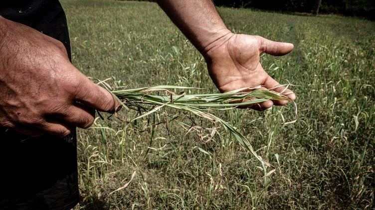 Un agriculteur montre une plante sèche dans son champs àCrevant-Laveine (Puy-de-Dome), le 18 juillet 2019. (JEAN-PHILIPPE KSIAZEK / AFP)
