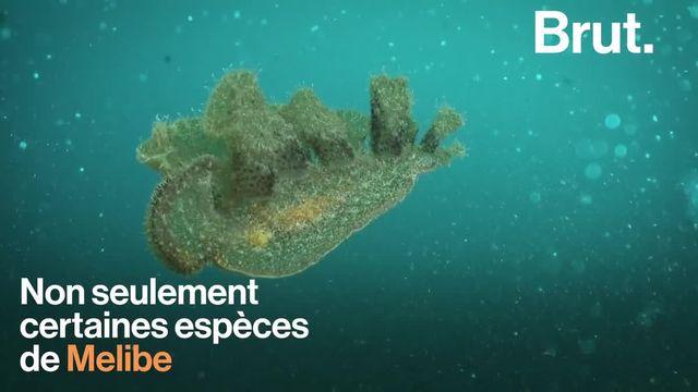 Pas besoin d'aller dans l'espace pour observer des formes de vie étranges. Celles-ci se cachent au fond de tous les océans du globe. Voici les Melibe.
