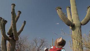 Réchauffement climatique : les cactus en danger en Arizona (France 2)