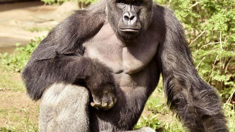 Harambeétaitun gorille mâle âgé de 17 ans et pesant plus de 180 kilogrammes. (REUTERS)