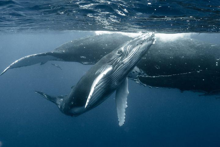 Une baleine et son petit. (Illustration) (KERSTIN MEYER / MOMENT RF / GETTY IMAGES)
