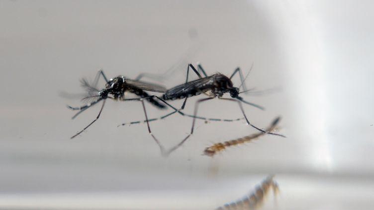 Les moustiques de la famille des Aedes peuvent transmettre le virus Zika. Ils vivent le plus souvent dans des zones tropicales. (MARVIN RECINOS / AFP)