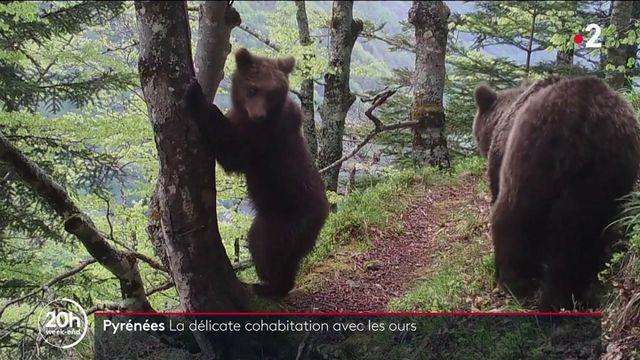 Pyrénées : la délicate cohabitation avec les ours