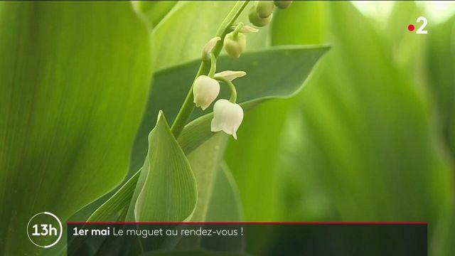 1er mai : la récolte du muguet a débuté