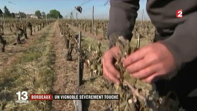 Bordeaux : un vignoble sévèrement touché par le gel