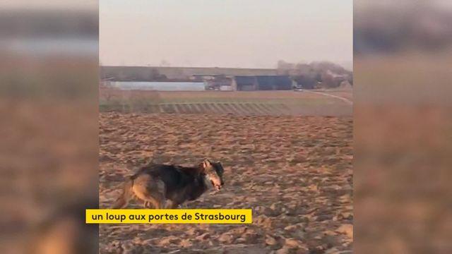 Un loup observé près de Strasbourg