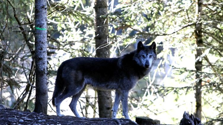 Le nombre de loups en France va continuer d'augmenter, selonlespécialisteJean-Marc-Landry. (ERIC OTTINO / MAXPPP)