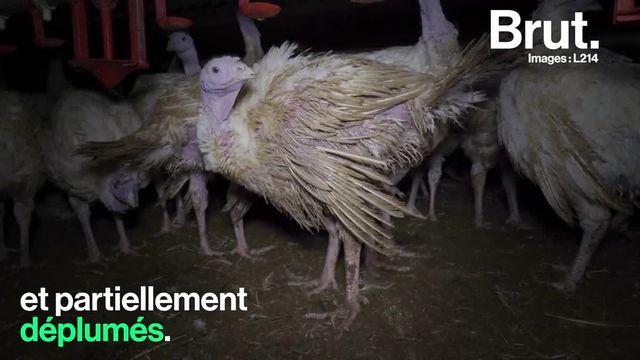 L214 a diffusé des images d'un élevage intensif du repas le plus consommé à Noël.