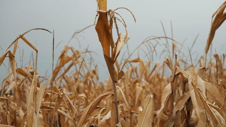 Un champ de maïs détruit par la sécheresse, le 23 septembre 2019, à Tournon-Saint-Pierre (Indre-et-Loire). (GUILLAUME SOUVANT / AFP)