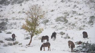 Des chevaux dans un champ enneigé du Sancy (Puy-de-Dôme), le 28 octobre 2018. (MAXPPP)