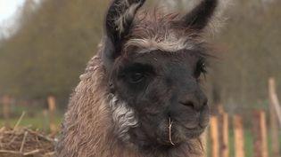 Deux jeunes éleveurs de Gironde ont trouvé une solution pour faire fuir les loups : utiliser des lamas. Ces animaux seraient d'excellents protecteurs pour les troupeaux. (FRANCE 3)