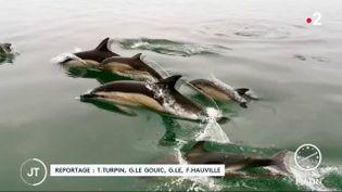 Des dauphins dans la Manche. (France 2)