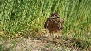 Une femelle busard en train de ramasser des brindilles pour son nid. (France 3 Reims)