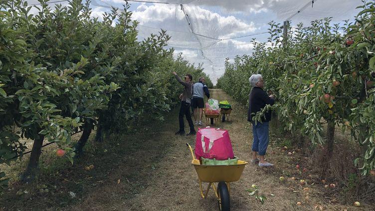Une cueillette de pommes dans une exploitation de la Creuse. (MÉLANIE KUSZELEWICZ / RADIO FRANCE)
