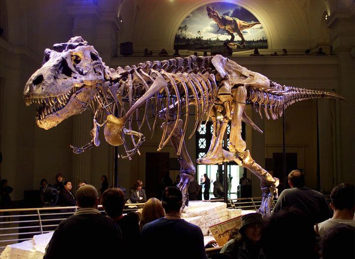 Le squelette d'un tyrannosaurus rex baptisé Sue, au Field Museum de Chicago (Etats-Unis), le 17 mai 2000. (SUE OGROCKI / REUTERS)