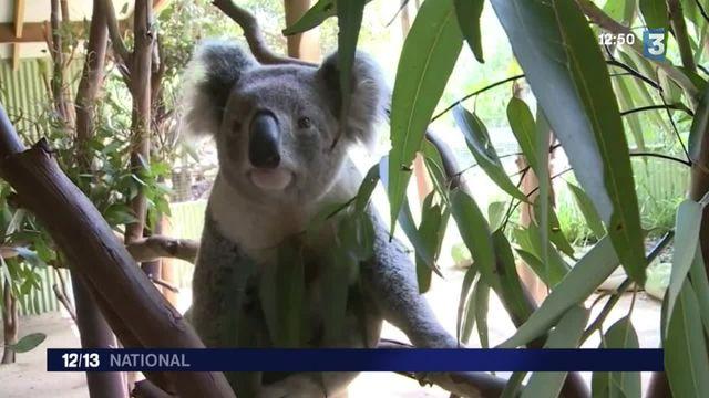 Un laboratoire français au secours des koalas australiens