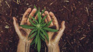 Les Pays-Basvont superviser la production de cannabis afin de contrer le trafic illégal. (Photo d'illustration) (DAVID TROOD / DIGITAL VISION / GETTY IMAGES)