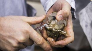 L'ouverture d'une huître. (MAXPPP)