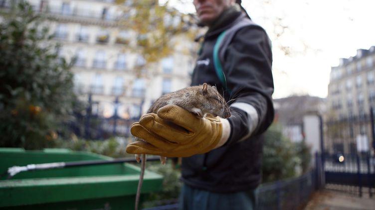Un agent employé par la ville de Paris montre un rat mort dans le parc de la Tour Saint-Jacques, le vendredi 9 décembre 2016, pendant la dernière campagne de dératisation. (FRANCOIS MORI/AP/SIPA / AP)
