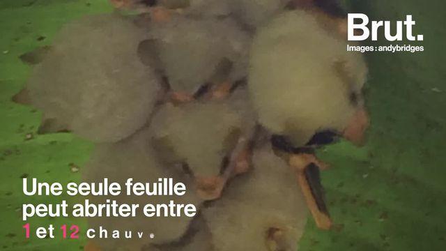 À l'instar de nombreuses espèces, la chauve-souris blanche est aujourd'hui presque menacée d'extinction. En cause ? La destruction de son habitat naturel, la forêt tropicale humide.