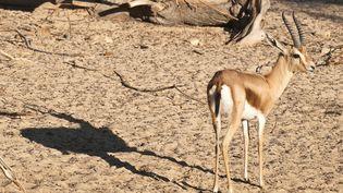 """Une gazelle au parc zoologique et botanique """"Le Paradis"""" de Tozeur, en Tunisie. (EMILIE CHAIX / PHOTONONSTOP)"""