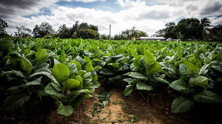 Des plants de tabac à Reparto Conchita (Cuba), le 18 janvier 2020. (MANUEL ROMANO / NURPHOTO / AFP)