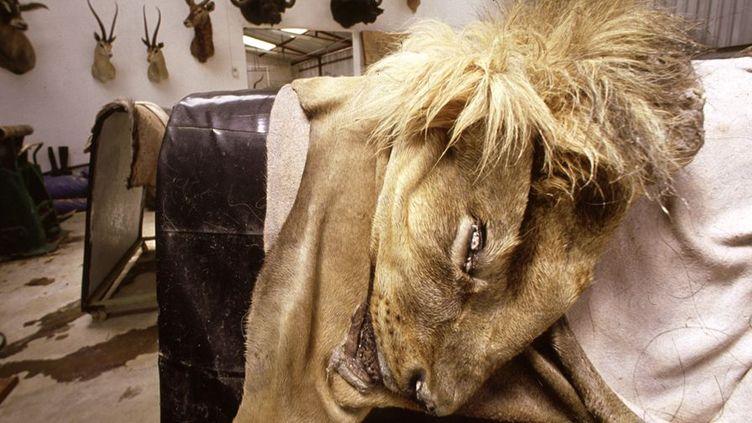 Dans un atelier namibien, un taxidermiste expose la peau tannée d'un lion abattu par un chasseur de trophées. (Photo AFP/Biophoto/Michel Gunther)