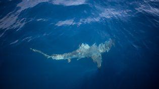 Déjà victimes de la destruction de leur habitat, les requins sont aussi menacés par la surpêche et le commerce juteux de leurs ailerons. Huit espèces sur les quelque 400 répertoriées sont désormais protégées par la Convention internationale sur le commerce d'espèces sauvages menacées d'extinction (Cites). Mais la terreur qu'ils génèrent éclipse souvent leur déclin. Si les attaques de requins sont rares, elles sont très médiatisées. Seule une centaine d'attaques ont été confirmées dans le monde en 2019, selon l'Université de Floride qui les répertorie.  (MICHELE SPATARI / AFP)