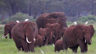 Au Kenya, les éléphants ont survécu à la sécheresse et aux attaques de braconniers. Ils sont aujourd'hui menacés par la culture d'avocat, très à la mode. (CAPTURE ECRAN FRANCE 2)