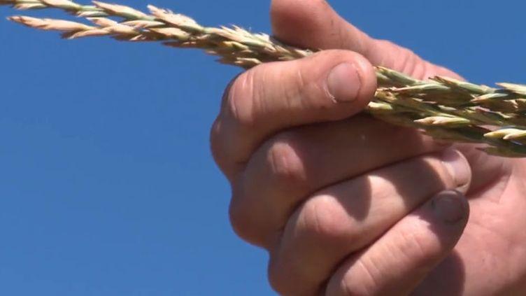 Le kernza est actuellement étudié à Lyon par des scientifiques. En plus de ses propriétés nutritionnelles, cette céréale est également un sacré atout pour la planète. (France 3)