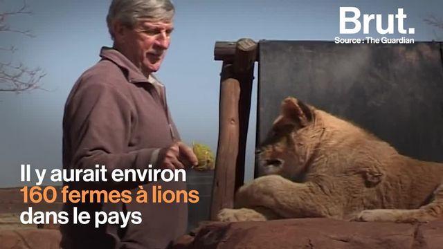 Des lions élevés en captivité pour être chassés par de riches touristes amateurs de safaris : c'est ce que l'Afrique du Sud vient d'annoncer vouloir interdire. Voilà à quoi ressemble la vie de ces lions...