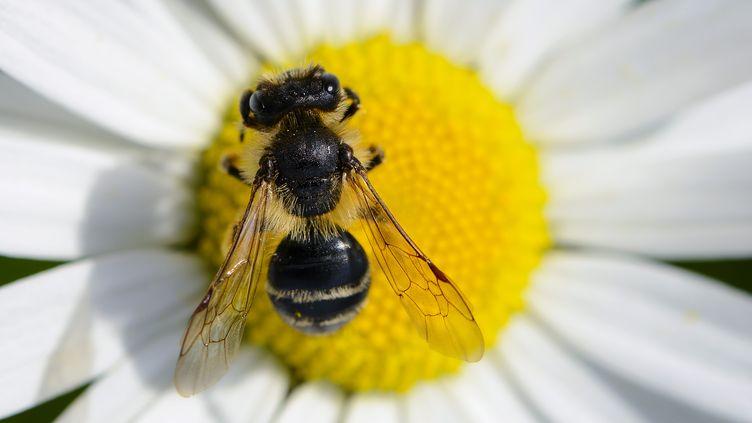 L'Institut national de recherche agronomique d'Avignon (Vaucluse)a entrepris de dresser les abeilles à repérer les mines ensevelies dans les Balkans. (DAVID EBENER / DPA / AFP)