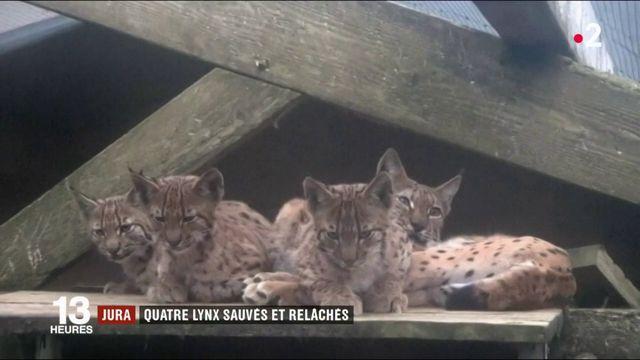 Jura : quatre lynx sauvés et relâchés
