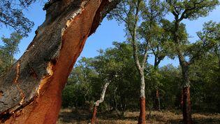 Un chêne-liège à Collobrières (Var), pris en photo le 5 octobre 2004 lors de la levée du liège. (MAXPPP)