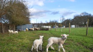 Des agneaux dans la ZAD de Notre-Dame-des-Landes (Loire-Atlantique), le 19 janvier 2018. (LOIC VENANCE / AFP)