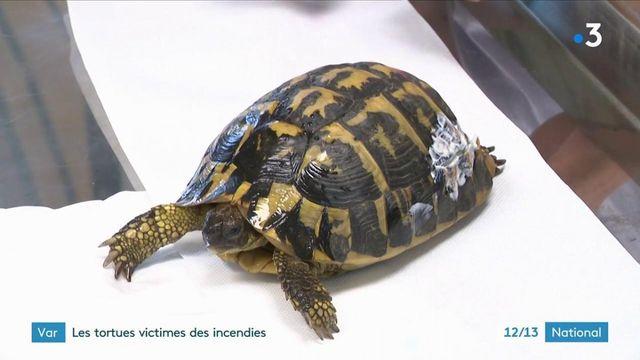 Var : des tortues victimes des incendies