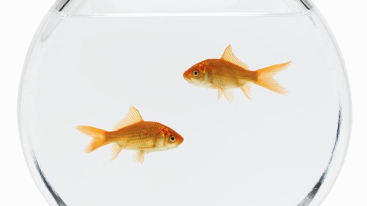 Un problème de garde de poissons rouges pourrait être à l'origine du meurtre d'un homme àBessé-en-Braye, dans la Sarthe. (DON FARRALL / PHOTODISC RED / GUETTY IMAGES)