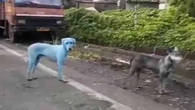 Des chiens errants, de couleur bleue, vus dans un quartier pauvre de Bombay