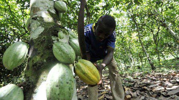 Récolte des haricots d'un cacaoyer dans une plantation de Divo, au sud de la Côte d'Ivoire, le 25 octobre 2010. (SIA KAMBOU / AFP)