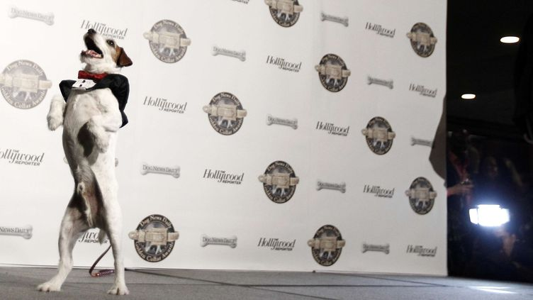 """Uggie, le film de """"The Artist"""", à Los Angeles (Etats-Unis) lors de la cérémonie des Colliers d'Or, où il a reçu le prix d'interprétation canine, le 13 février 2012. (MATT SAYLES / AP / SIPA / AP)"""