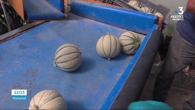 Sur les marchés, le melon français est en avance