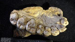 Une mâchoire humaine datant de près de 200.000 ans, trouvée sur le site archéologique de Misliya en Israël  (Gerhard Weber / SIPA)