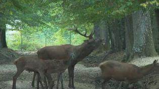 C'est la saison des amours pour les cerfs et les biches. (France 3)