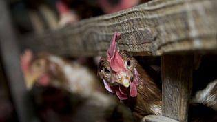 La présence du virus de la grippe aviaire a été repérée dans une ferme située dans le centre des Pays-bas, dimanche 16 novembre 2014. (GUAN YUROU / IMAGINECHINA / AFP)
