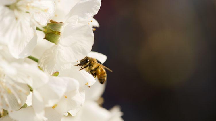 En butinant le pollen des fleurs, les abeilles participent à la reproduction de très nombreuses espèces. (MAXPPP)