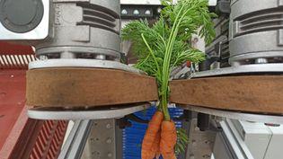 Ce robot arrache délicatement les carottes de terre et évite aux producteurs d'avoir à se baisser. (PHILIPPINE OISEL / RADIO FRANCE)