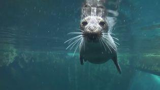 Un phoque à Océanopolis à Brest (Finistère). (FRANCE 2)