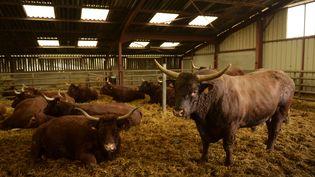 Les animaux de l'élevage de Salers, où un cas de vache folle a été confirmé le 24 mars 2016, à Givron (Ardennes). (MAXPPP)