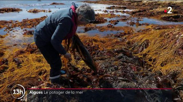 Finistère : à la rencontre de Scarlette Le Corre, pionnière des algues et cultivatrice de la mer